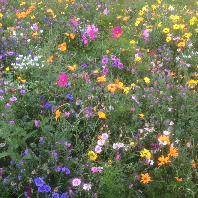 Purple, pink, yellow and white wildflowers growing together